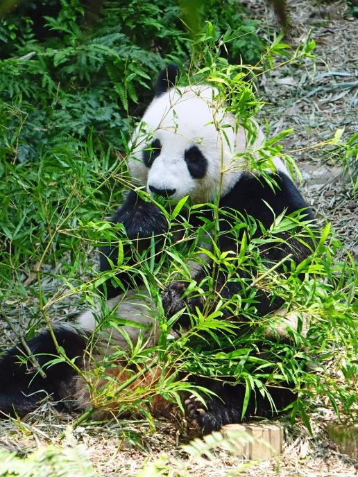 panda-505158_1920