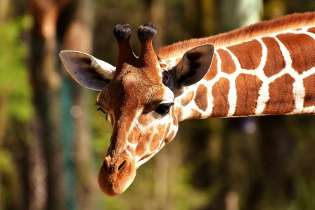 giraffe-2222908_1920