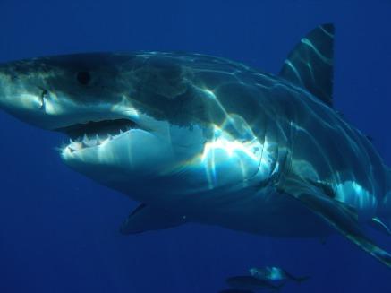 great-white-shark-398276_1920