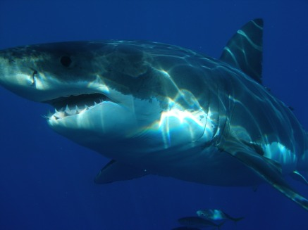 great-white-shark-398276_1920